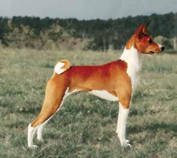 And please talk to him, or his handler even if it is just to ask the age. You should be aware that Basenjis are notorious for tucking up their testicles in cold weather.