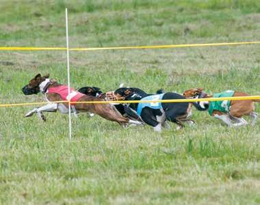 Oval Track Racing is an optional part of the Basenji National specialty, but has enjoyed growing interest: with the excitement of a horse race as the dogs break from boxes and juggle rail position