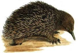 Australian Mammals 2 Echidna Many people do not know that echidnas are named after a monster in ancient Greek mythology, Echidna, who is half woman, half snake.