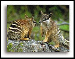 Australian Mammals 3 Numbat Numbats are animals that are found only in Western Australia. They are small (35-45 cm in length) and have a long pointy snout.