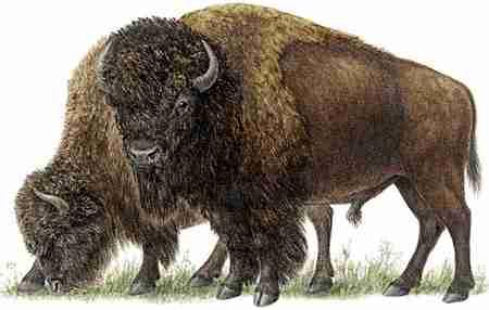 American Bison (Bison bison) The American Bison's recovery from near extinction parallels what happened to the European Bison, Bison bonasus.