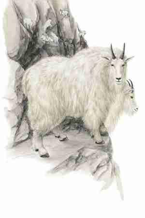 Mountain Goat (Oreamnos americanus) Mountain Goats live on remarkably steep, craggy cliffs for most of their lives, spending only about a quarter of their time in less forbidding meadows and nearby