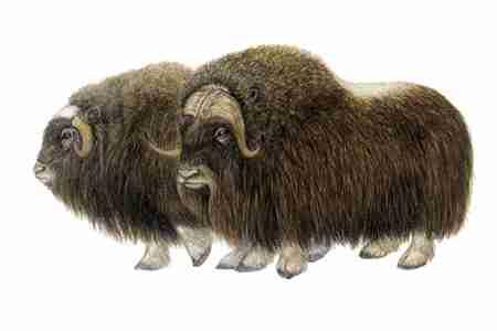Muskox (Ovibos moschatus) Muskoxen are well adapted to their cold Arctic habitat, with short, stocky bodies and a thick coat of ground length hair, enhanced in the winter by woolly underhairs for