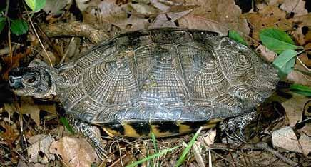 Wood Turtle Brook Trout Shelter: Lives near the river in wet areas, winters underground in river bottoms or river banks, builds nests for eggs