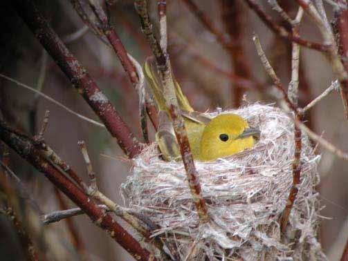 Yellow Warbler Red-Bellied Woodpecker Shelter: Lives along the river bank, makes nests in the notches of trees or bushes, nests are deep
