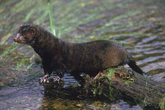 Mink Salamander Shelter: Lives along the river bank and in the river, makes dens in holes along the river bank, lines the den