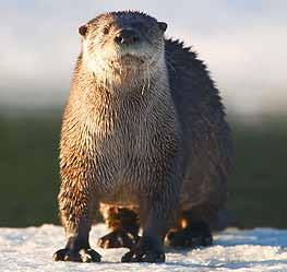 River Otter Raccoon Shelter: Lives in the river and along the river bank, makes dens under logs or in holes, dens have an