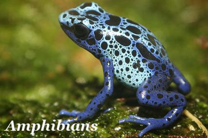 Amphibians An amphibian is a vertebrate that lives part of its life in water and another part on land.