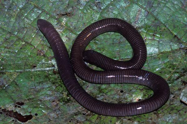 Traits of caecilians: Legless
