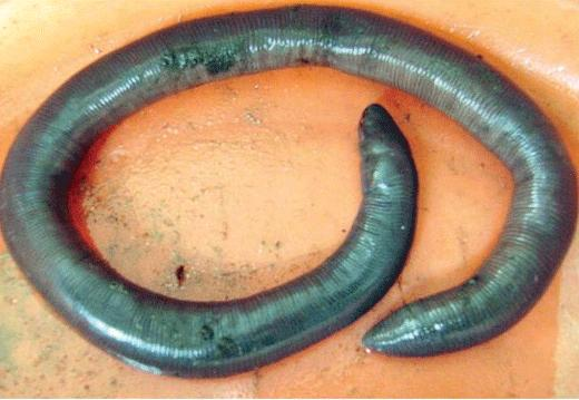 Caecilians Live in water or