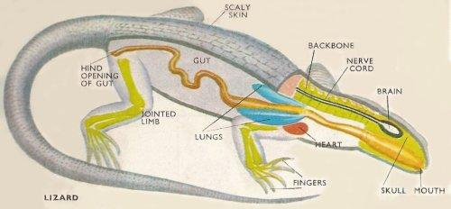 Respiration Reptiles Reptiles have well-developed lungs for breathing air