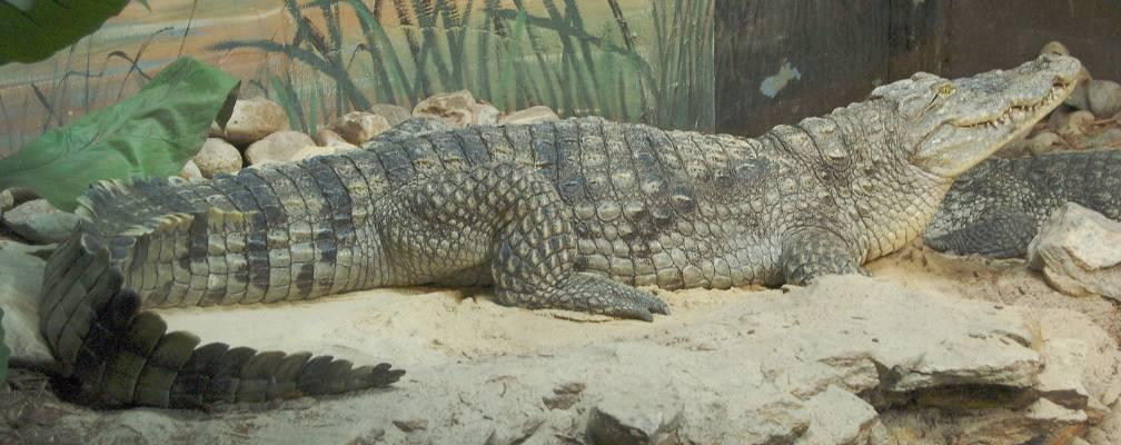 Traits of crocodilians: Long, broad