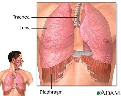 Respiration Mammals Mammals have well-developed lungs and a