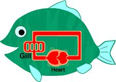 Circulation Fishes Fish have a closed circulatory system.