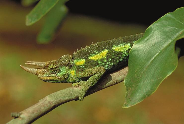 2 BREVIORA No. 519 Figure 1. Adult male Chameleo jacksonii from an introduced population in Nairobi. Photo by J. B. Losos. Webb et al., 2003).