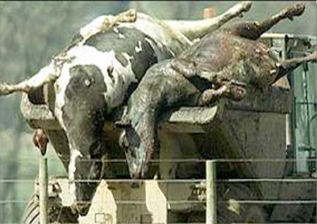 2 Cattle carcasses infected with a foreign animal disease are being transported for disposal after an outbreak.