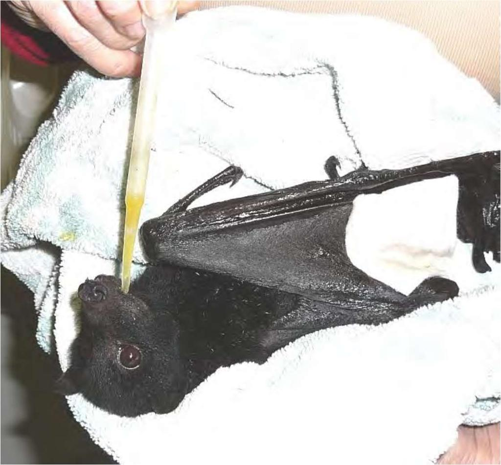 Figure 22 Rescued black flying fox being given a drink of juice (Bat Conservation and Rescue 2013) The sensory satisfaction gained from working with flying foxes in this way sustains carers as they