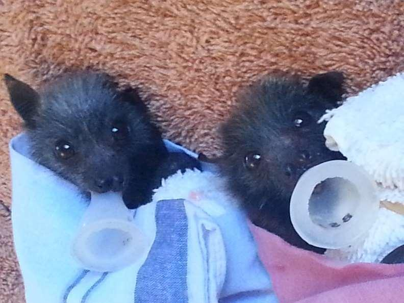 Figure 23 Two unweaned grey-headed flying foxes in care their names are Frieda and Melinda (photo taken 29 November 2014) Orphaned, baby flying foxes, unable to eat solid food or fly, elicit
