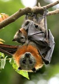Figure 18 Brisbane s three species of flying-fox. Left to right: the Black flying fox, the Greyheaded flying-fox (with young), and the Little Red Flying-fox.