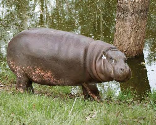 to the rescue! Hannah P. Motamus The HSUS's Fund for Animals Wildlife Center ramona, california meet Hannah the Hippo!