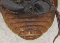 Head black, pronotum black with yellow edges anteriorly,