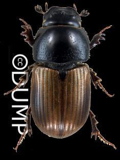 15. (14) - Pronotum all the same colour - not at all lighter laterally.