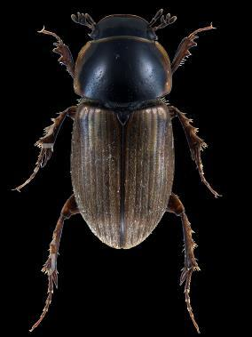 ........ sphacelatus - Posterior margin of pronotum black. Length 4-6 mm.