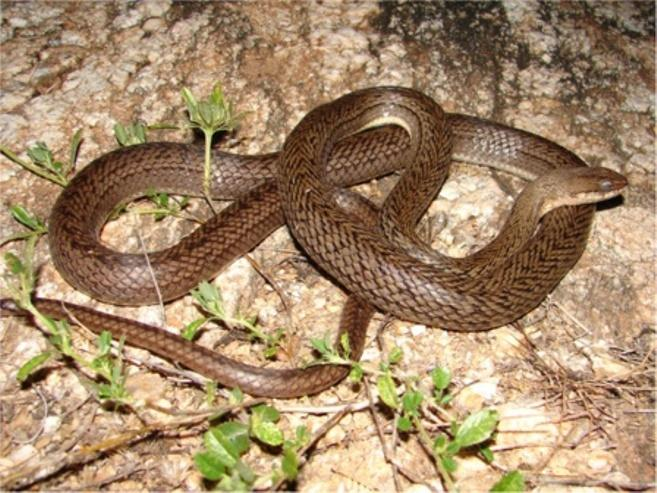Comments: A small sized snake with a wide distribution in Caatinga biome [118]. This species is diurnal with terrestrial activity feeding on small frogs and also tadpoles.