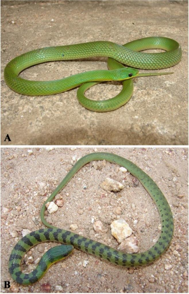viridis and Philodryas olfersii are the only completely green snakes found in Caatinga, the differentiation of these species is easily detectable in numbers of dorsal scale rows. L.