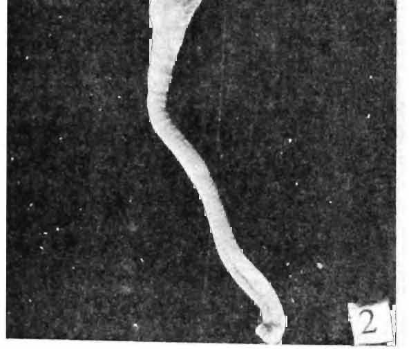 WATERS, INDIA. Occurrence,of a porceuanid,crab,.polyonyx sp. (Fig.