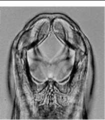 In dorsoventral view 3 pairs of teeth (6 total) will be visible. (See Figure 1.