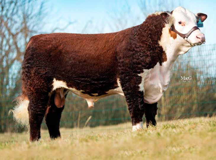 18 hereford Romany 1 Lawbreaker RE L23 (P) Sire: Spurstow 1 Recruit 1st