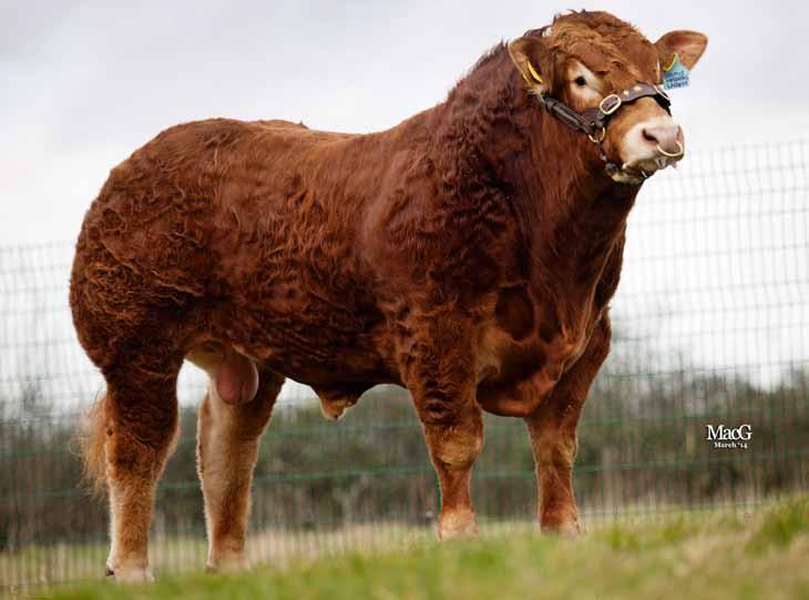 21 LIMOUSIN Brutus Hashtag Sire: Brutus Cracker Dam: Pyebrook Delight MGS: Saunders