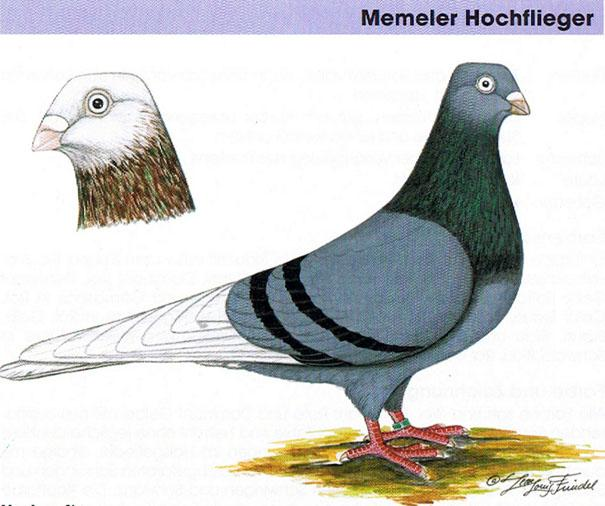 Standard of the Memeler High-Flyer Origin: An Old indigenous Tumbler Breed from The Memel Region (what was East Prussia), first known outside that Area from the 1920's.