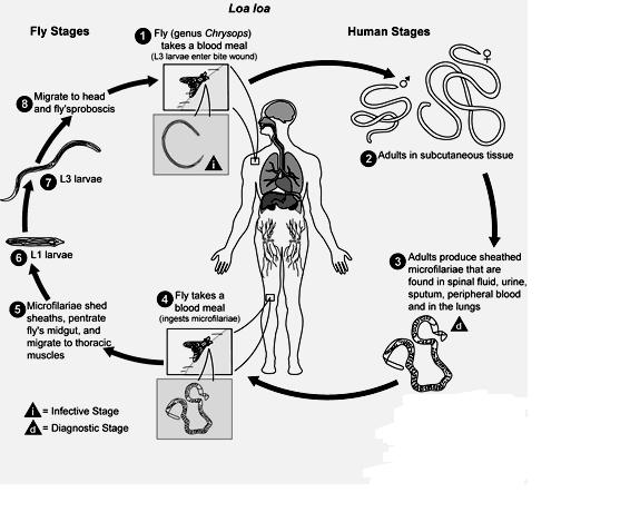 Morphology and life-cycle. Loa Loa worms have a simple body including a head, body, and tail. Males range from 20 mm to 34 mm long and 350 mm to 430 mm wide.