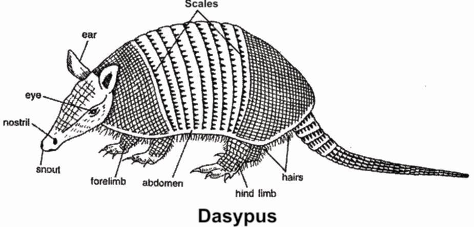 Dasypus or Armadillo - It shows polyembryony (4-8 embryoes) Bradypus - Slowest animal Order : Pholidota