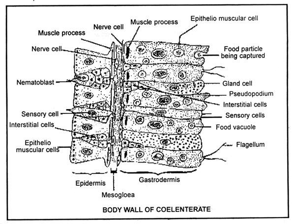Interstitial cells (Totipotent and act as reserve to replace worn out cells/germ cells/nematocyst); Epithelio - muscular cells ; Glandulo muscular cells ; Sensory cells ; Germ cells (b) Gastrodermis