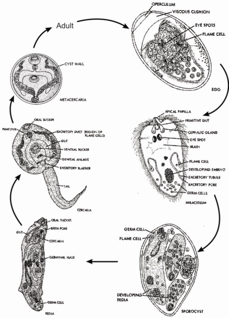 Different Larval forms of Fasciola Hepatica Life Cycle of Fasciola Hepatica FASCIOLA HEPATICA It is a sheep liver fluke.