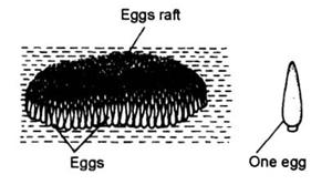 Table : Differences between Culex and Anopheles Culex Anopheles Eggs 1.