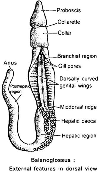 Body cavity is enterocoelus, that is divided into Protocoel, Mesocoel and Metacoel. 7. Mostly ciliary feeders. Complete alimentary canal is present in digestive system. This is straight or U - shaped.