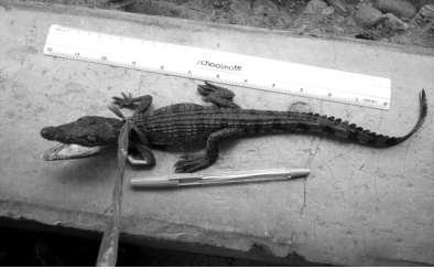 These crocodiles were given approximate sizes from the actual measurements under captivity. The respondents gave their estimate of the size of the crocodiles.