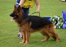 LONG STOCK COAT dog classes Placing 2 *CH BABANGA MR ANDERSON AZ Placing 4 *BODECKA CASANOVA AZ Placing 6 *CH GRUNDELHARDT CIRCLE OF LIFE (AI) 17/09/2013 Sire: *Gerry vom Schacher aed (Imp Deu) Dam: