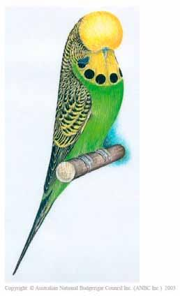 The Budgerigar Society of New Zealand (Inc.) Est: 28 July 1934 Invite all Budgerigar Breeders to join their progressive Society.