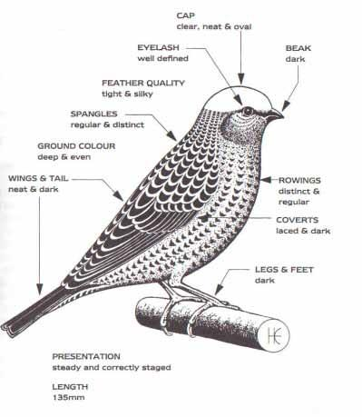 Show Points of The Lizard Canary Scale of Points: The following is the scale of Points for Lizard Canaries SPANGLES: For regularity and distinctness... 25 FEATHER QUALITY: For tightness and silkiness.