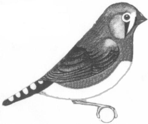 STANDARD NORMAL GREY COCKBIRD STANDARD