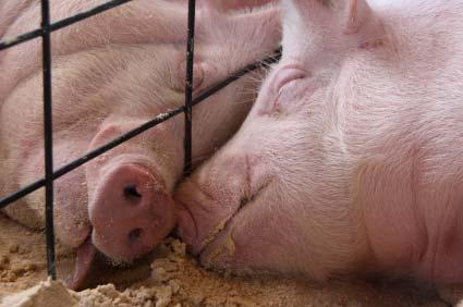Implementation of the EU Directive on the protection of pigs (2) Group housing: from 1 January 2013 in all holdings sows and