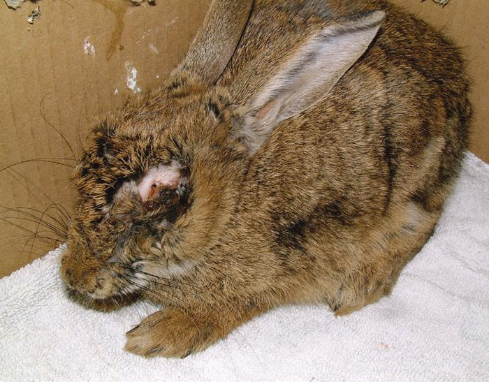 Below: a rabbit suffering from