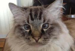 Kinnelon Volunteer Animal Shelter. Casey Beautiful 12 year old Ragdoll with true Ragdoll personality.