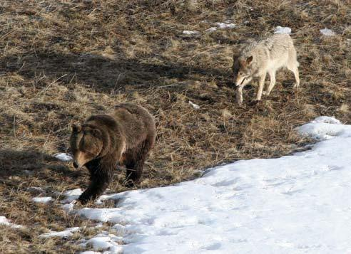 Yellowstone Wolf Project 5 in 2005 was 15%, slightly lower than the 10-year average of 20%. For the first time, three wolves died from mange related problems (e.g., hair loss, malnutrition, hypothermia).