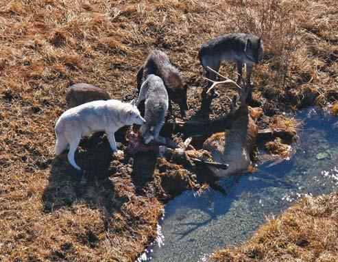 12 Wolf Capture and Collaring lared due to an inability to locate them for aerial capture. Fifteen pups, 5 yearlings, and 16 adults were handled and marked with collars (no wolves were ear tagged).